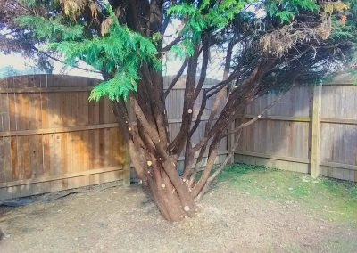 Roxborough: Leyland Cyprus Pruning